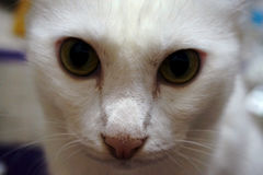 White cat face. Close up white cat face with eyes contact Royalty Free Stock Image