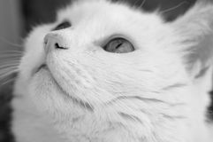 White cat face macro bw. White cat face macro black and white image Stock Image