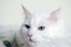 White cat face royalty free stock photos