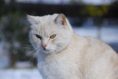 White cat. On a farm in Rome after a snowfall Stock Images