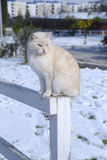 White cat. On a farm in Rome after a snowfall Royalty Free Stock Photo