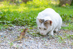 White cat fighting with lizard in the garden Stock Photos