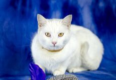 White cat with flea collar and cat toy. Female white domestic cat on blue studio backdrop with flea collar and feather cat toy. Animal adoption photography for royalty free stock photography