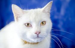 White cat with flea collar. Female white domestic cat on blue studio backdrop close up portrait. Animal adoption photography for Walton County Animal Control in royalty free stock image