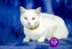 White cat with flea collar and cat toy. Female white domestic cat on blue studio backdrop with flea collar and purple ball cat toy. Animal adoption photography stock photography