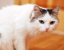 White cat on a floor Royalty Free Stock Image