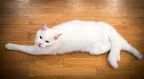 White cat. Royalty Free Stock Image