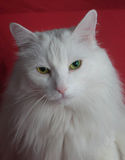 White cat. The white are fluffy a cat on a red background Royalty Free Stock Photography