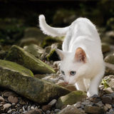 White cat in free nature. Snow-white cat in the wilderness, stalking on stones and looking for prey Royalty Free Stock Image