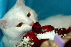 White cat gets acquainted with flowers. Royalty Free Stock Photography