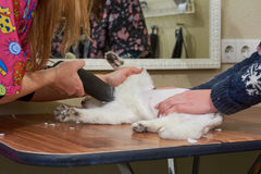 White cat getting a haircut. Hands of cat groomer, trimmer Stock Image