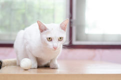 White cat with golf ball on the table Royalty Free Stock Images