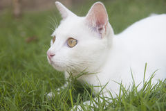 White Cat. In the grass Stock Photo