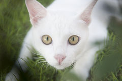 White Cat. In the grass Stock Photos