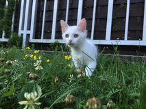 White cat in grass. White cat hunting in grass Stock Photography