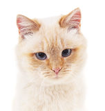 White cat with gray eyes. Royalty Free Stock Image
