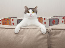 White cat with gray spots sits in amazement looking for cushions Stock Photos