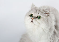 White cat with green eyes looking up, portrait . Stock Image