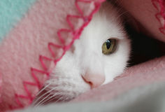 White cat staring. White cat with green eyes staring at window under pink blanket Stock Image