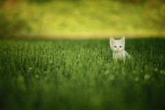 White Cat in Green Grass. This is a colorful photo of a white cat in green grass Royalty Free Stock Images