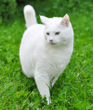 White cat on green grass outdoor Stock Images