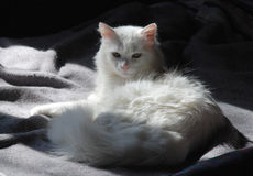 White Cat on Grey Blanket Stock Photos
