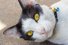 White cat on the ground. Yellow eyes cat on the ground stare at camera Stock Photography