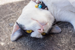 White cat on the ground. Yellow eyes cat on the ground stare at camera upside down Stock Photos
