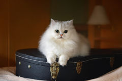 White cat with guitar. In the room Royalty Free Stock Photography