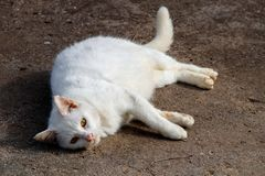 White cat has different blue yellow eyes lie down rest. Background Royalty Free Stock Images