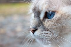 White cat head with blue eyes Stock Photography