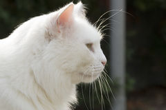 White cat head close up from side. Green grass in metal pot on table Stock Images