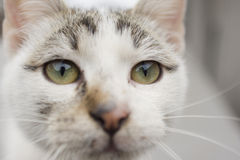 White cat heat close-up. White cat head close-up. High resolution image Royalty Free Stock Images