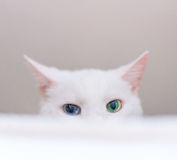 White cat. Stock Images
