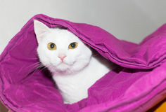 White cat hiding. Under the duvet Royalty Free Stock Photography