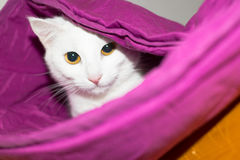 White cat hiding. Under the duvet Stock Photography