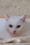 White cat at home Royalty Free Stock Photography