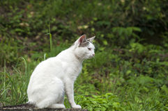 White cat on house roof Stock Image