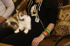 White cat on human lap with stroking hands close up photo stock image