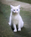 White cat indisposed and posing Royalty Free Stock Photography