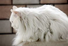 White cat indoor. Stock Images