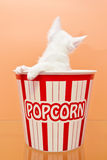 White cat inside a bucket of popcorn. Looking at an orange background Royalty Free Stock Photography