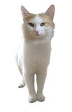 White cat isolated Royalty Free Stock Photos