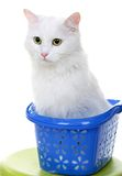 White cat isolated on white background Royalty Free Stock Image