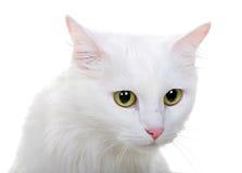 White cat isolated on white background Royalty Free Stock Photography