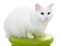 White cat isolated on white background Royalty Free Stock Images