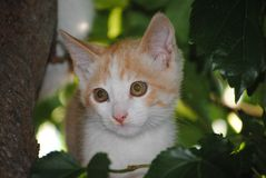 White cat, kitty, hided between the branches of a tree royalty free stock photo