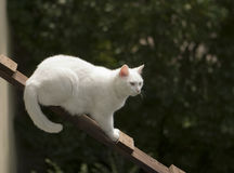 White Cat On Ladder Royalty Free Stock Photos