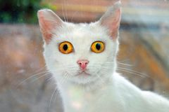 Cat looking out the window. White cat with large eyes looking out the window Royalty Free Stock Images