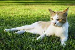 White cat lay down on the grass. White cat lay down on the lawn, selective focus stock photo